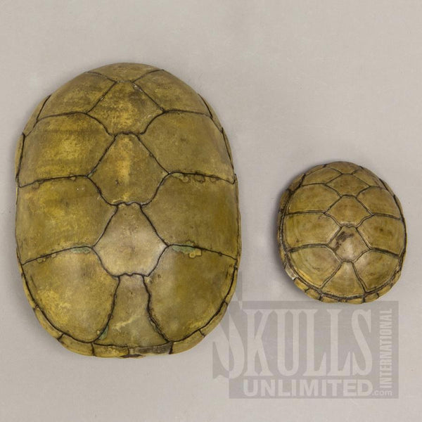 Real Yellow Mud Turtle Shell