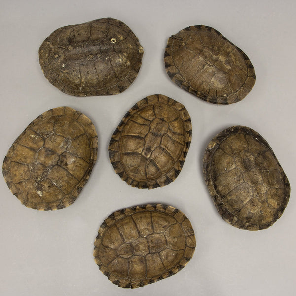 Real Chaco Sideneck Turtle Shell (Single)