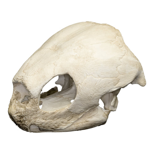 Replica Leatherback Sea Turtle Skull