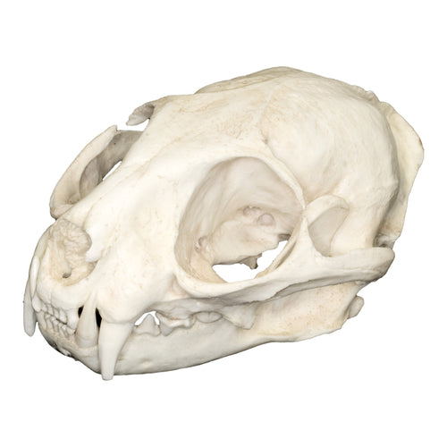Replica Leopard Cat Skull