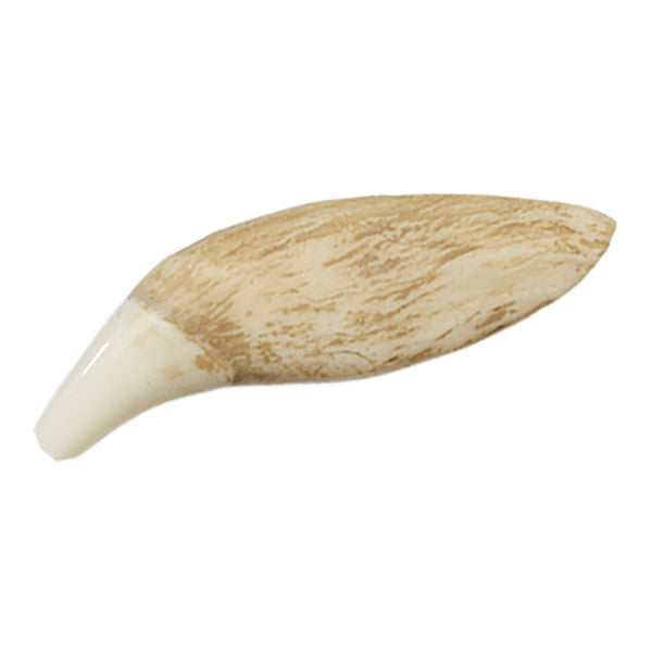 Replica Grizzly Bear Tooth