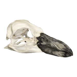 Replica Magellanic Penguin Skull