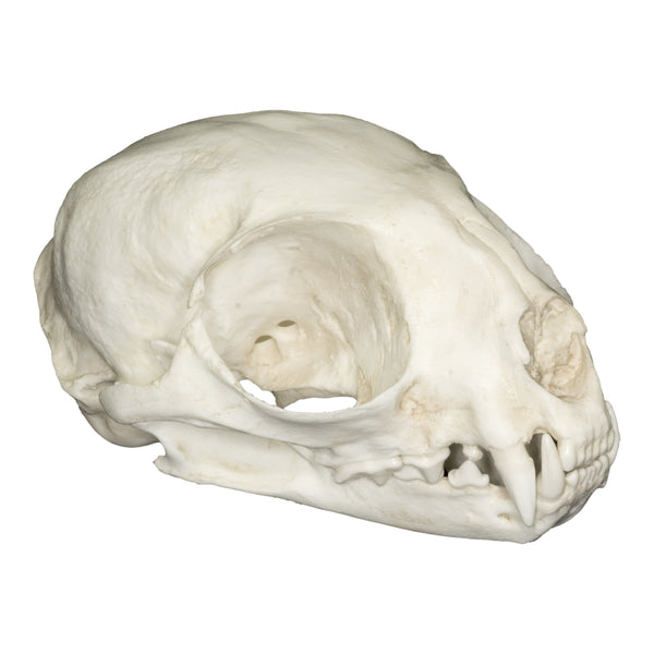 Replica Margay Skull