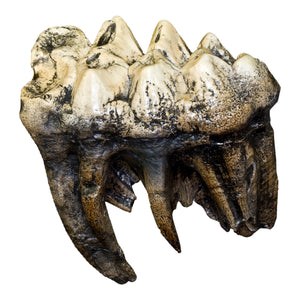 Replica Mastodon Tooth