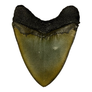 Replica Megalodon Shark Tooth
