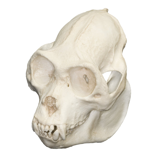 Replica Mexican Howler Monkey Skull