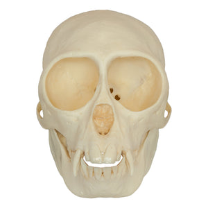 Replica Mona Monkey Skull (Female)