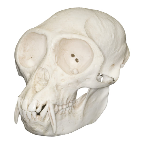 Replica Mona Monkey Skull (Male)