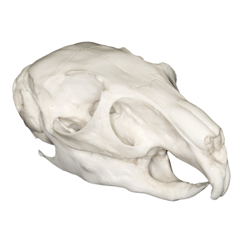 Replica Mountain Viscacha Skull