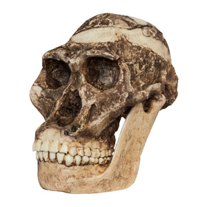 Replica Mrs. Ples STS 5 Skull and Jaw