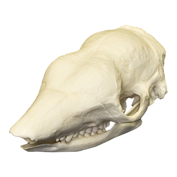 Replica Naked-tailed Armadillo Skull