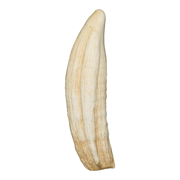 Replica Northern Elephant Seal Canine Tooth