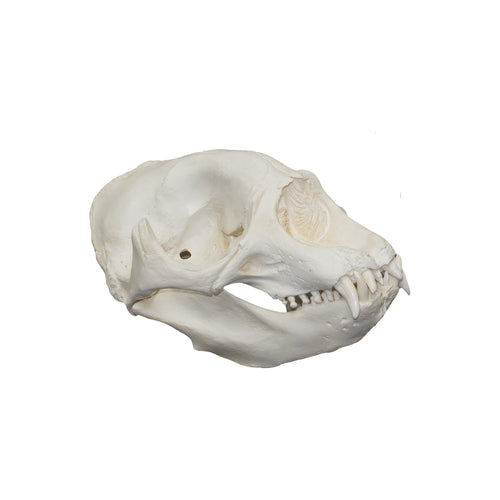 Replica Northern Elephant Seal Skull (Female)