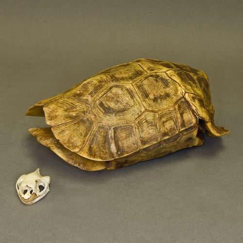 Real Homes Hinge-back Tortoise Shell and Skull