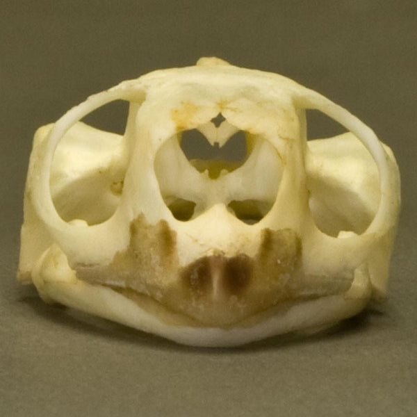 Real Hinge-back Tortoise Skull and Skeleton