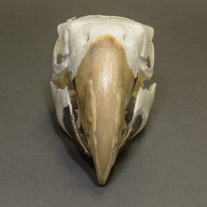 Real Green-winged Macaw Skull
