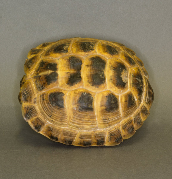 Real Russian Tortoise Shell and Skull