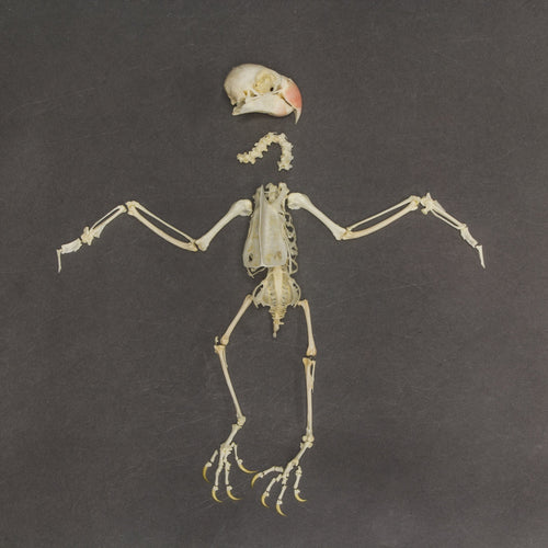 Real Ring-necked Parakeet Skeleton