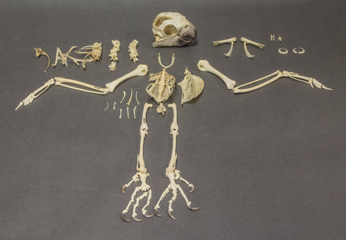 Real Sulphur Crested Cockatoo Skeleton