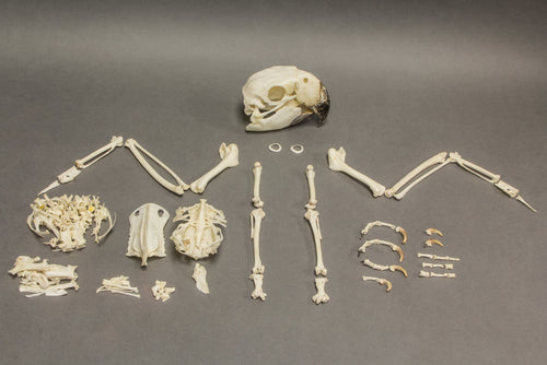 Real Blue and Gold Macaw Skeleton