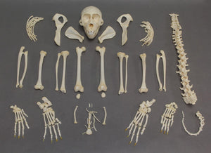 Real Crab-eating Macaque Skeleton