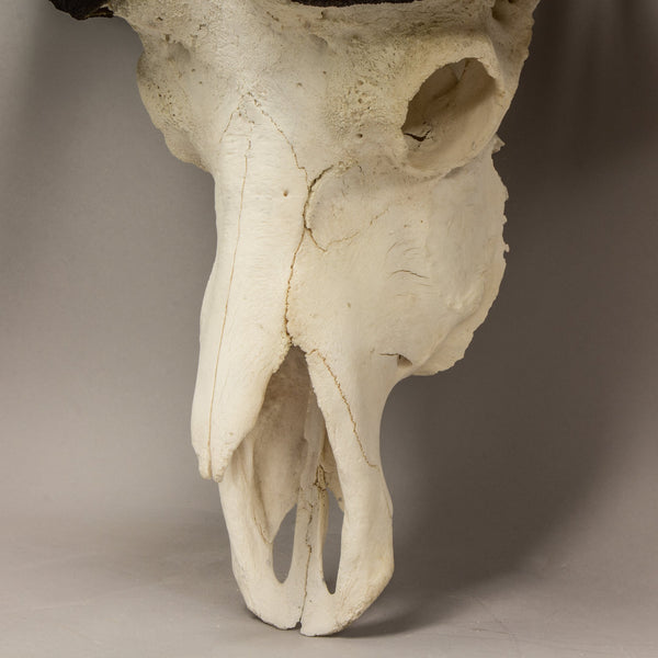 Real Cape Buffalo Skull