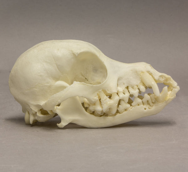 Real Domestic Dog Silky Terrier Skull