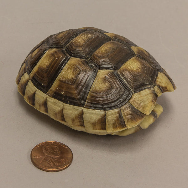 Real Chaco Tortoise Shell