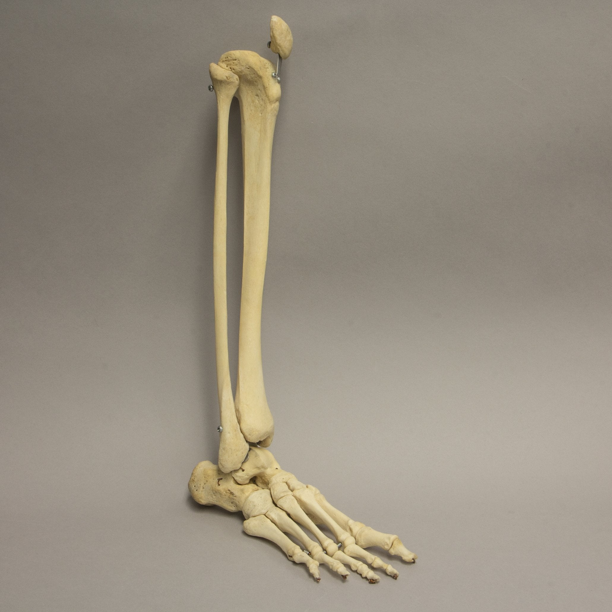 Real Human Leg For Sale Skulls Unlimited International Inc