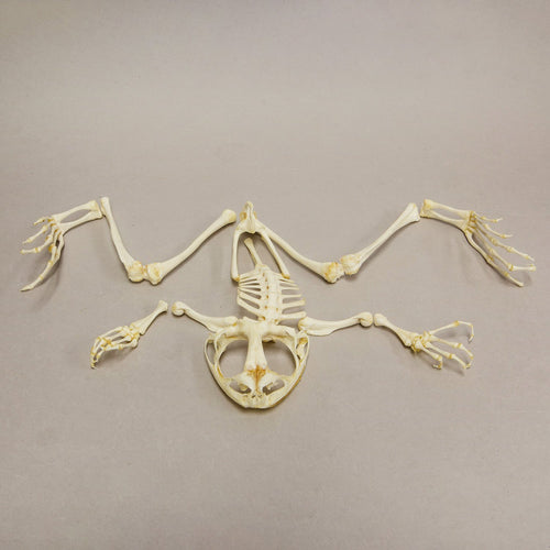 Real Giant Slippery Frog Skeleton (Disarticulated)