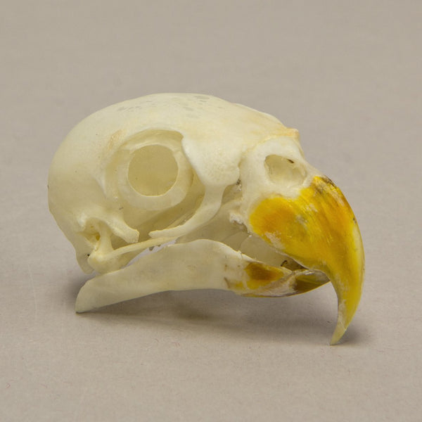 Real Red Lory Skull