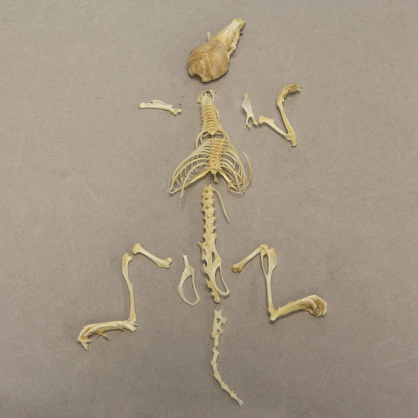 Real Shrew Skeleton