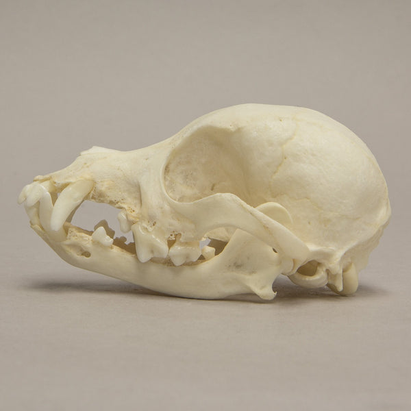 Real Domestic Dog Yorkshire Terrier Skull