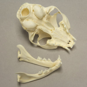 Real Domestic Cat Skull -Missing Incisors