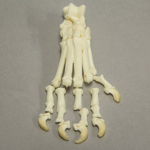 Real Complete Disarticulated Dog Hindlimb