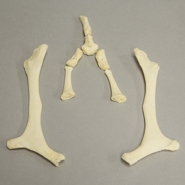 Real Cow Hyoid