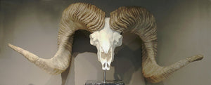 Replica Altai Argali Sheep Skull