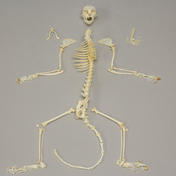 Real Red-handed Tamarin Skeleton
