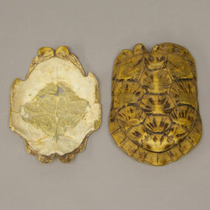 Real Pancake Tortoise Skeleton