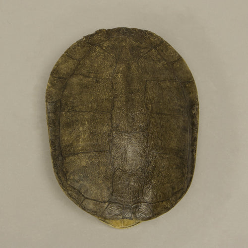 Real Red-bellied Short-necked Turtle Shell
