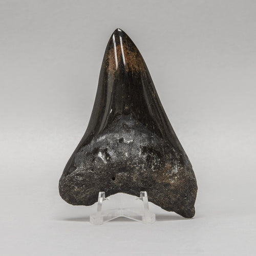 Real Megalodon Shark Tooth