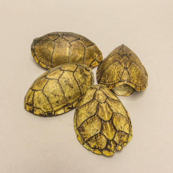 Real Discounted Turtles Single (Small)