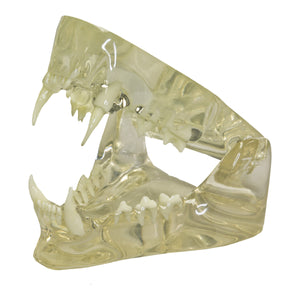 Replica Veterinary Clear Feline Model - (Jaw)