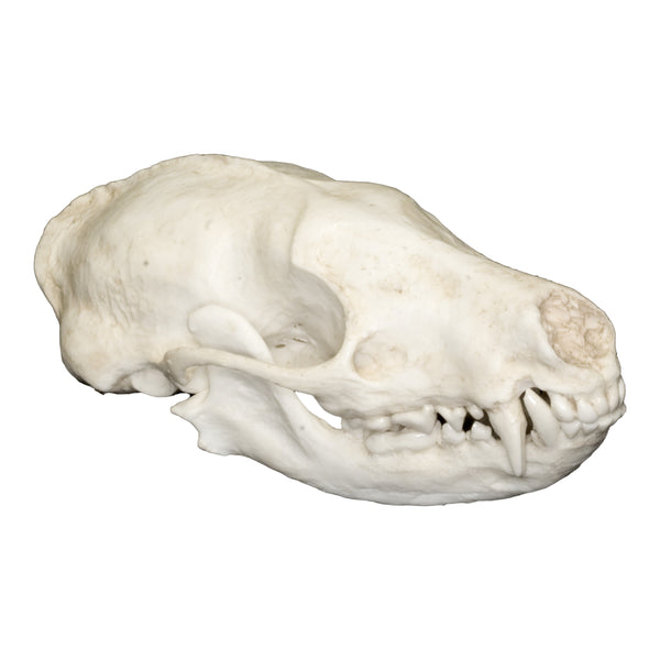 Replica Palawan Stink Badger Skull