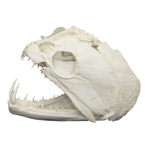 Replica Payara Skull