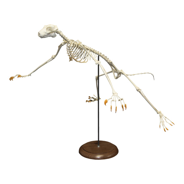 Replica Philippines Flying Lemur Skeleton (Articulated)