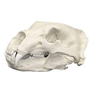 Replica Polar Bear Skull