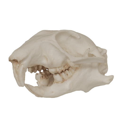 Replica Prairie Dog Skull