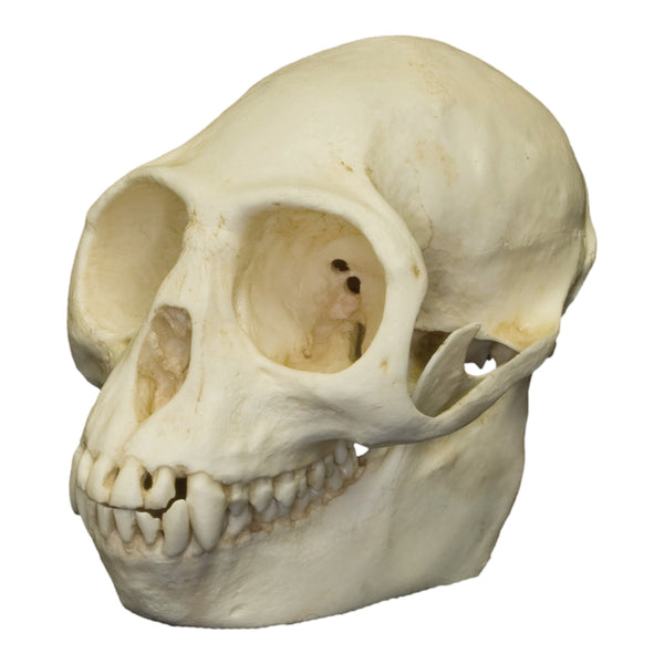 Replica Purple-faced Langur Skull