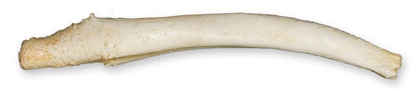 Replica Gray Seal Baculum (19.5cm)